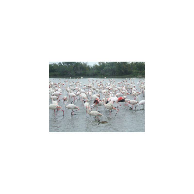 flamants roses - sejours-provence.fr